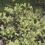 Cetraria islandica