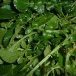 Nasturtium aquaticum