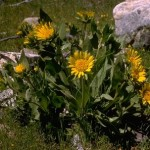 Wyethia helenoides