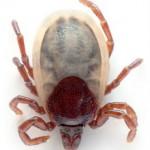 Borréliose et maladie de Lyme