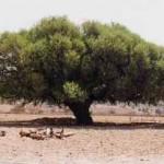Argania spinosa