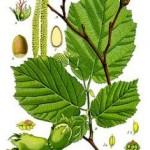 Corylus avelana