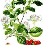 Crataegus oxyacantha
