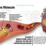 L'homocystéine