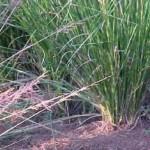 Anantherum muricatum