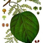 Cocculus indicus