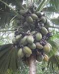 Coco nucifera