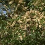 Combretum micranthum