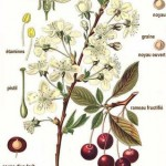 Cerasus vulgaris