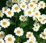 Chrysantellum americanum