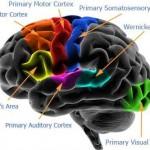 Le système nerveux central (MARIEB ch.12)