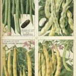 Phaseolus vulgaris