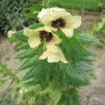 Hyosciamus niger