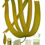 Laminaria (et autres algues)