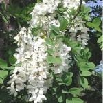 Robinia pseudo acacia