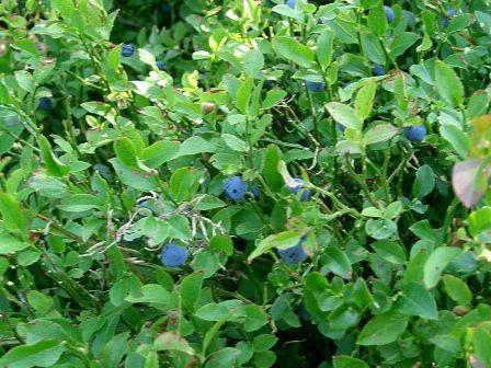 Wundklee Anthyllis Vulneraria précieux 100 graines quantités remise!!!
