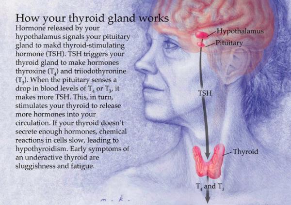 ThyroïdGland