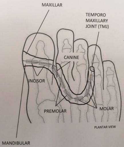 Dents en Réflexologie
