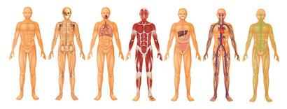 anatomie-palpatoire